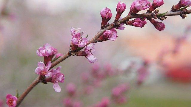 větvička s květy mandlovníku